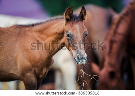 Foal eating hay - stock photo