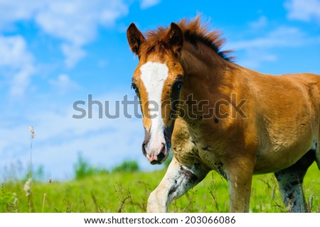 foal in spring meadow  - stock photo