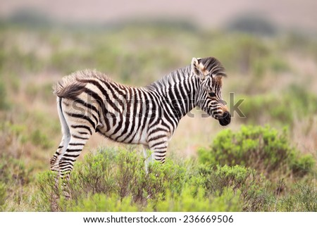 Foal of a Plains Zebra (Equus quagga) in the Amakhala Game Reserve, Eastern Cape, South Africa.