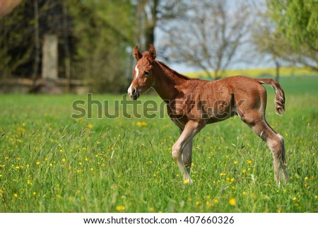 foal on a pasture - stock photo