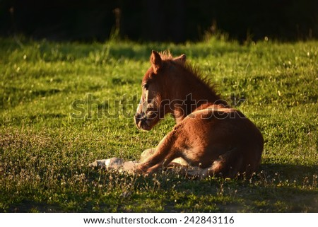 Foal on meadow in the rays of the setting sun - stock photo