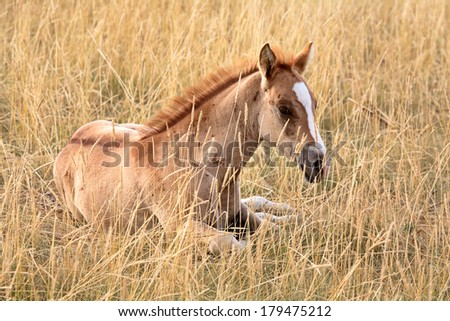 Foal resting in a Saskatchewan pasture - stock photo