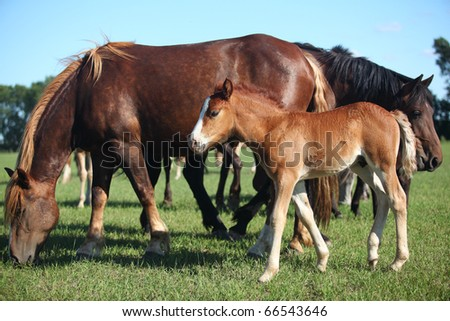 Foal with parents grazing on meadow - stock photo