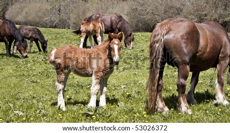 Foals beside their mothers- - stock photo