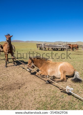 Foals of mongolian horse in steppe - stock photo