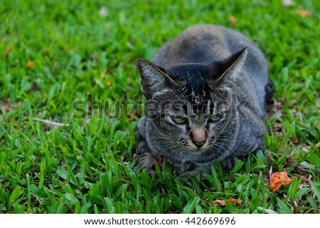 Focus face Thai cat lying in green grass