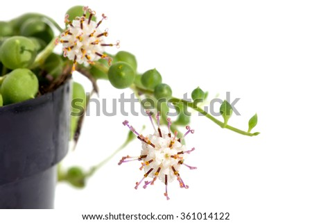 Focus on a flower Succulent String of pearls (Senecio rowleyanus).  Isolated on white background - stock photo
