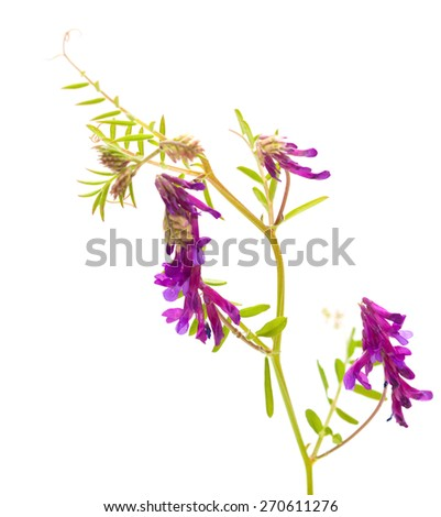 fodder vetch isolated on white background - stock photo