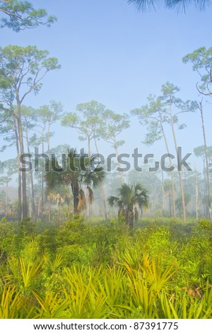 Foggy early morning in Corkscrew Swamp Sanctuary, Florida . Pine flatwood.