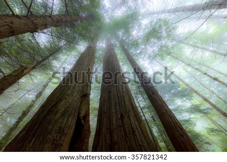 Foggy forest, Lady Bird Johnson Grove trail, Redwoods National Park - stock photo