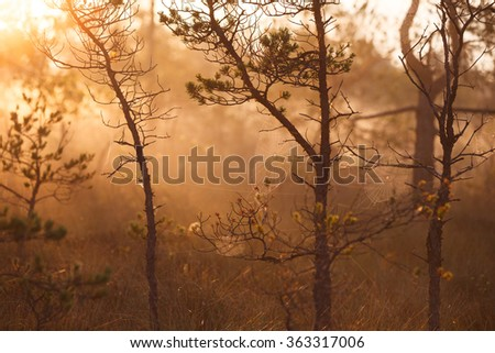 Foggy morning in the forest and trees with cobweb ful with dew droplets - stock photo