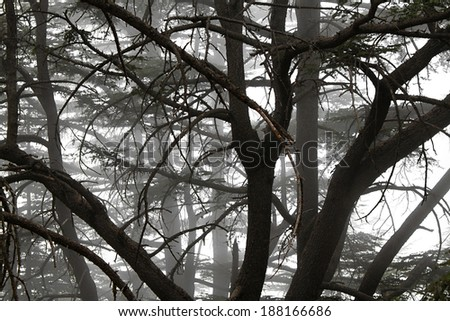 Foggy nature at a cedars forest in Lebanon. - stock photo