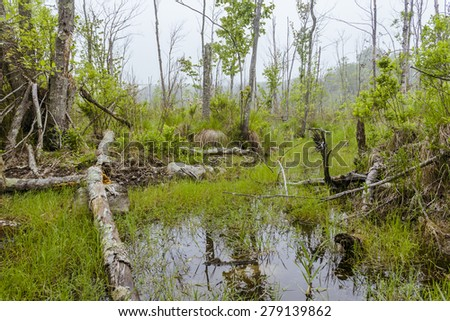Foggy overgrown swamp or marsh woods early in the morning