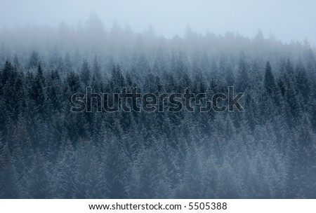 Foggy pine forest - stock photo