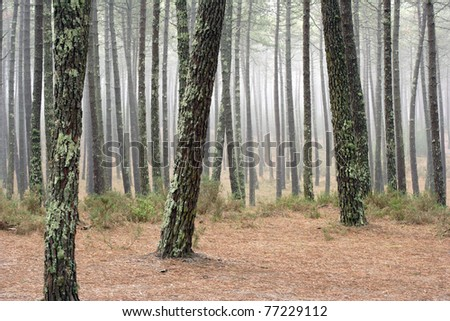 Foggy pine woods in late summer in Portugal - stock photo