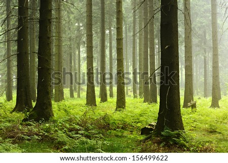 Foggy Spruce Tree Forest  - stock photo
