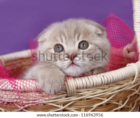 Fold kitten in a basket on a purple background.
