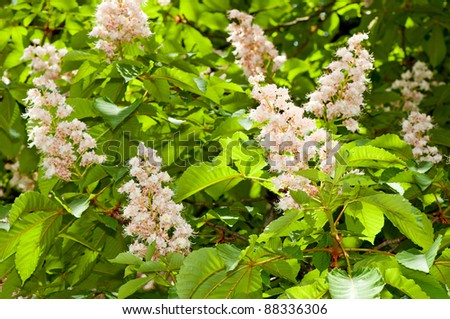 Foliage and flowers of horse-chestnut (Aesculus hippocastanum) - stock photo