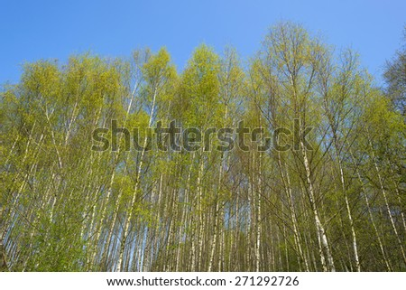 Foliage of birches in sunlight in spring - stock photo
