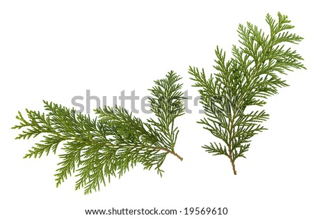 Foliage of Japanese Thuja tree, isolated on pure white background. Copy-space. - stock photo