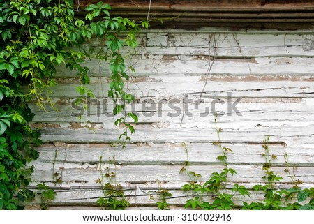 Foliage wild grapes on vintage wooden background with copy space. Green leaves of the wild grapes on wooden background. Wooden wall of the rustic old house.