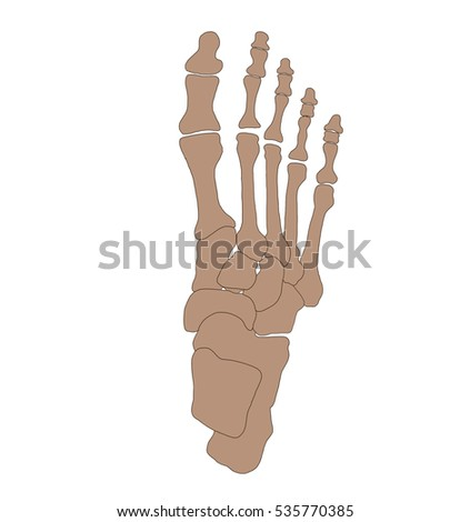 Foot Anatomy Foot Bones Stock Illustration 535770385 Shutterstock