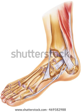 Foot Ankle Tendons Ligaments Joints Bones Stock Illustration
