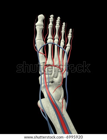 Foot Bones, Arteries and Veins Top View