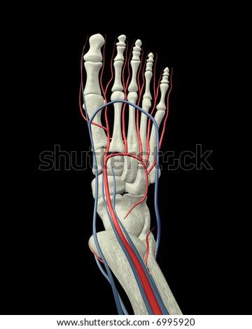 Foot Bones, Arteries and Veins Top View - stock photo