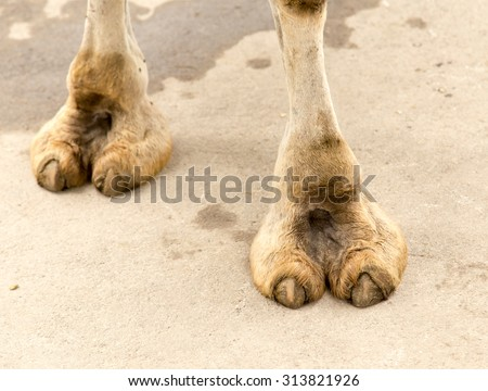 foot camel - stock photo