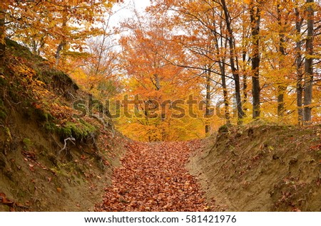 Foot path covered by dry leaves in the autumn beech forest