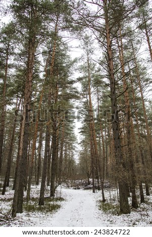 Footpath in the winter pine forest - stock photo