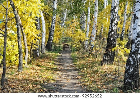 Footpath through sun dappled birch autumn forest. Sunny day. - stock photo