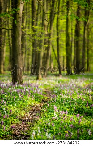 Footpath through the spring forest full of blooming hollowroot flowers - stock photo