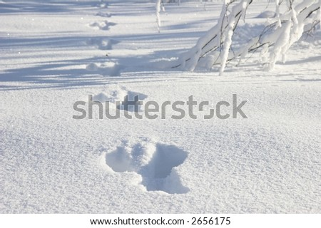 Footprints of a rabbit. - stock photo