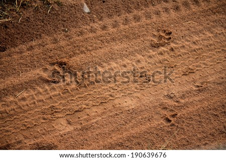 Footprints of an African Leopard spotted on the Safari road while on a game drive through the Masai Mara National Reserve, Kenya, East Africa. In search of the Big Five