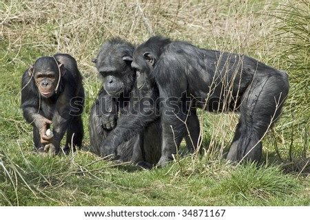 Foraging family of Chimps feeding - stock photo