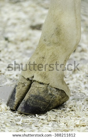 Foreleg hoof of giraffe (binomial name: Giraffa camelopardalis) standing in a zoo (shallow depth of field)
