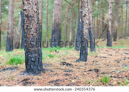 forest after fire burnt trees closeup ecologic background