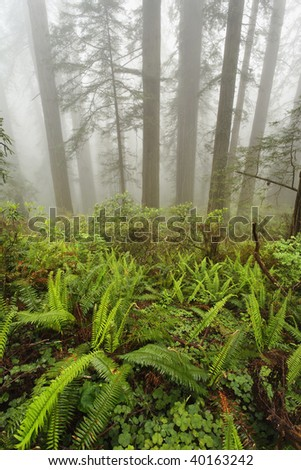 Forest along Damnation Creek Trail in Del Norte Coast Redwoods State park which is one of several parks that make up Redwoods National Park, California. - stock photo