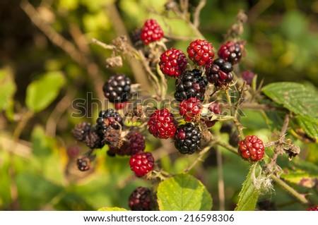 forest blackberries - stock photo