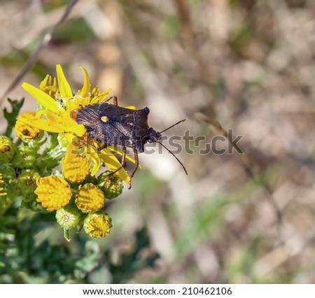 Forest Bug or Red-legged Shieldbug - stock photo