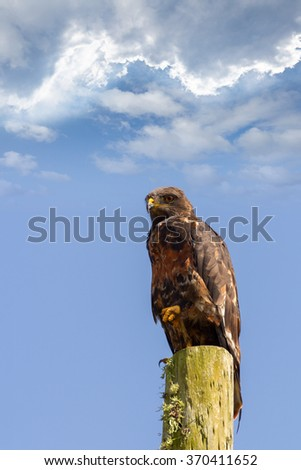 forest buzzard bird with a fixed gaze a raptor standing on a post while hunting - stock photo
