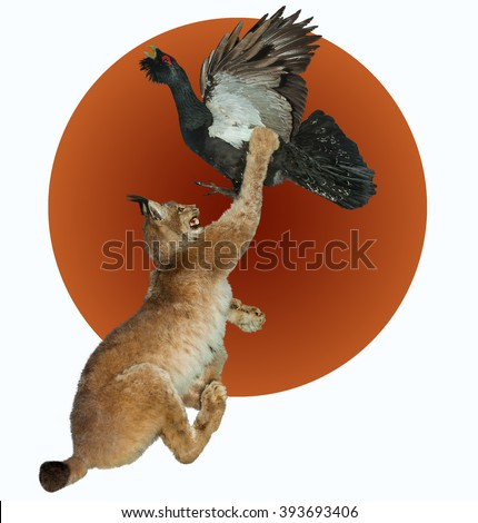 Forest cat lynx attacks the bird capercaillie.The fight for life.Isolated image. - stock photo