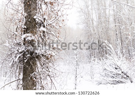 Forest covered with fresh snow. - stock photo
