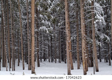Forest covered with snow on a fabulous spring day - great background