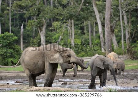 Forest Elephant (Loxodonta africana cyclotis), (forest dwelling elephant) of Congo Basin. Dzanga saline (a forest clearing) Central African Republic, Dzanga Sangha. Africa - stock photo