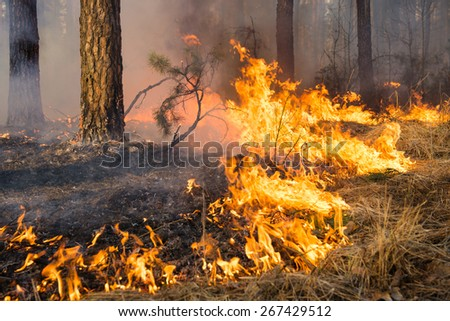 Forest fire and clouds of dark smoke in pine stands. Flame is starting to damage the trunk. Whole area covered by flame. Distorted details due high temperature and evaporation gases during combustion - stock photo