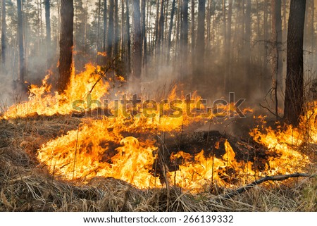 Forest fire and clouds of dark smoke in pine stands. Whole area covered by flame - stock photo