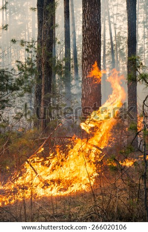 Forest fire. Big flame moves to crown and starting damage of trunk - stock photo